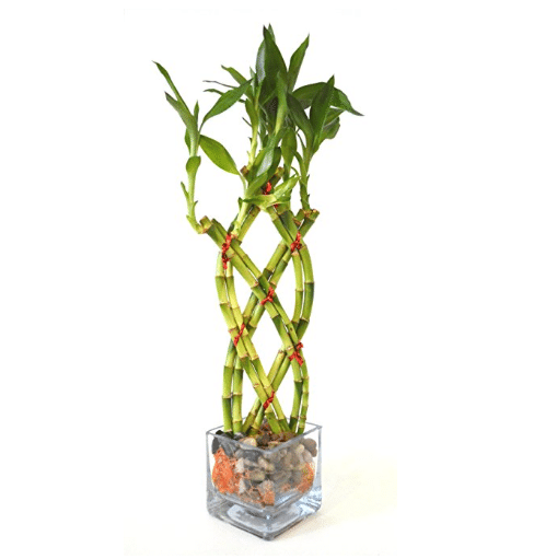 lucky feng shui bamboo plant remedy for health
