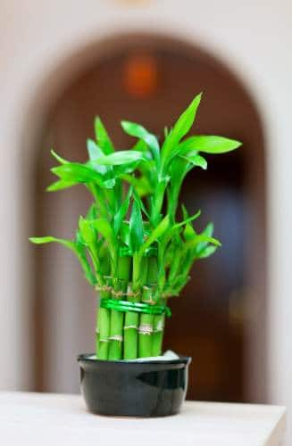 Feng Shui Money Tree Plant Use It To Attract Wealth In 2019